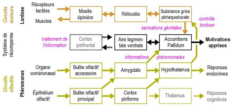 Circuits neurobiologiques de la motivation sexuelle chez les mammifères